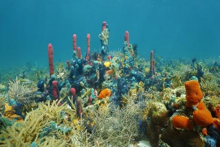 サンゴやヒトデ、カリブ海で覆われてカラフルなスポンジで盛んな海洋生物と水中のサンゴ礁