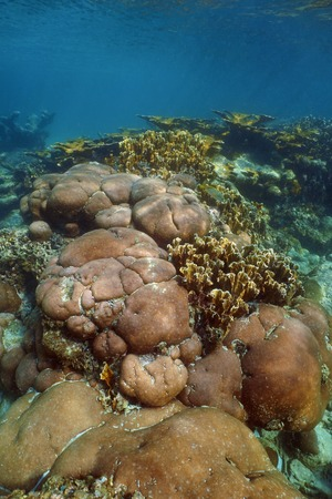 starlet: Underwater landscape of stony coral reef in the Caribbean sea