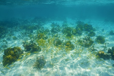 grunt: Underwater landscape with corals and a shoal of grunt fish in the Caribbean sea