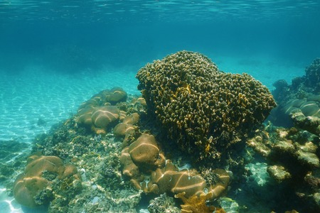 stony corals: Underwater scenery of a stony coral reef in the Caribbean sea