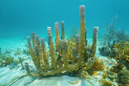 bottom of sea: Branching vase sponge, Callyspongia vaginalis, underwater on the seabed of the Caribbean sea Stock Photo