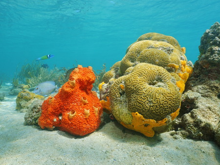 underwater life: Underwater life, colorful encrusting sponge and brain coral on seabed of the Caribbean sea