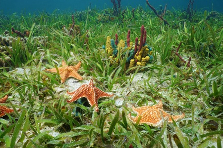 oreaster reticulatus: Cushion sea star undersea with colorful sponges on grassy seabed in the Caribbean sea