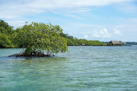 bocas del toro: Secluded mangrove tree in the water with a tropical restaurant in background, Caribbean sea, Panama, Bocas del Toro archipelago