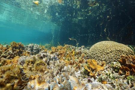 brain coral: Shallow seafloor with Thin leaf lettuce coral and Brain coral near mangrove, Caribbean sea, Panama