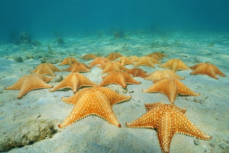 oreaster reticulatus: Under the sea on sandy seabed with a group of starfish in the Caribbean, Panama, Central America Stock Photo