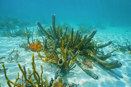 Underwater marine life on sandy seabed of the Caribbean sea, mostly branching vase sponge and scattered pore rope sponge