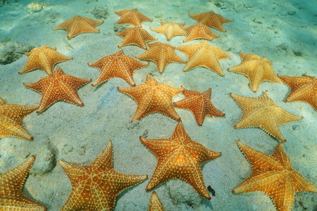 cushion sea star: Cluster of starfish underwater, Cushion sea star, Oreaster reticulatus, on sandy seabed of the Caribbean sea