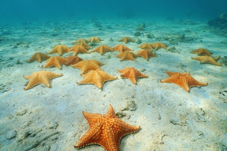 cushion sea star: Cushion sea stars, Oreaster reticulatus, undersea on sandy seabed in the Caribbean, Panama, Central America Stock Photo
