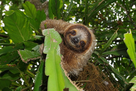 brown throated: Cute three-toed sloth looking at camera in a jungle tree, wild animal, Costa Rica, Central America Stock Photo