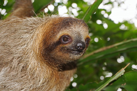 brown throated: Head of young three-toed sloth looking at camera in the jungle of Costa Rica, wild animal, Central America