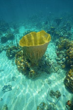 underwater life: Underwater life, large vase sponge, Ircinia campana, in the Caribbean sea Stock Photo