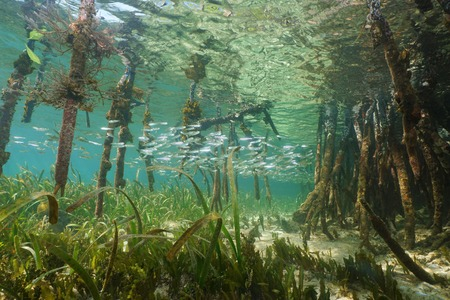 Mangrove ecosystem underwater with school of juvenile fish and tree roots of Rhizophora mangle, Caribbean sea