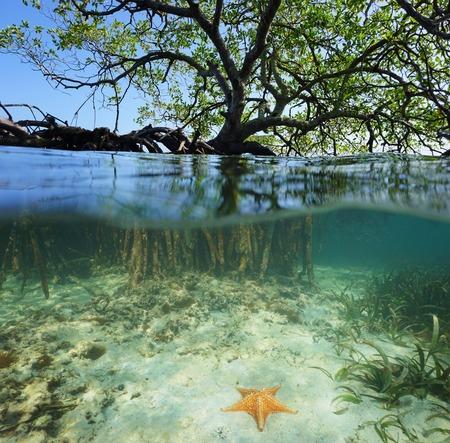 Split shot van een rode mangrove boom over en onder zee-oppervlak met zijn wortels en een zeester onderwater, het Caribisch gebied, Belize Stockfoto