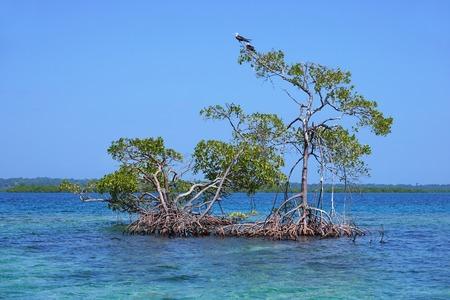 bocas del toro: Red mangrove trees in water of the Caribbean sea, archipelago of Bocas del Toro, Panama, Central America Stock Photo