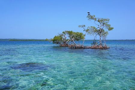 secluded: Seascape with secluded mangrove trees in the Caribbean sea, Panama, Central America