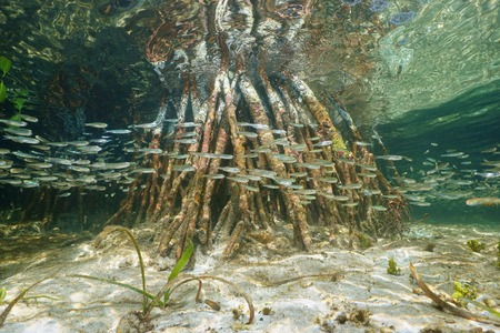 Underwater ecosystem, shoal of juvenile fish swimming near mangrove roots, Caribbean sea, Belize photo