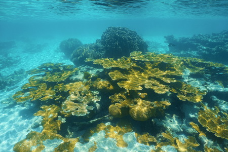 stony corals: Underwater reef with elkhorn coral in the Caribbean sea