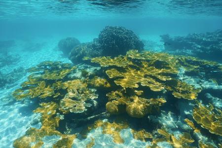 elkhorn coral: Underwater reef with elkhorn coral in the Caribbean sea