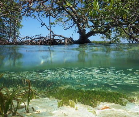 ecosystem: Vista de Split en el manglar con el árbol por encima de la superficie del agua y bajo el agua cardumen de peces juveniles, el mar Caribe