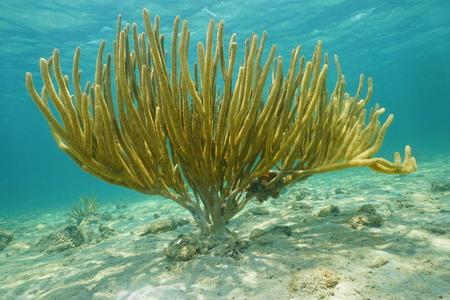 gorgonian: Underwater life, large porous sea rod, gorgonian octocoral, Pseudoplexaura porosa, Caribbean sea Stock Photo