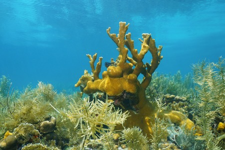 elkhorn coral: Underwater seascape, seabed with corals in the Caribbean sea Stock Photo