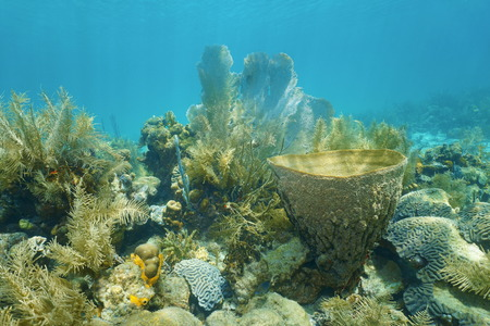 coral bell: Coral reef under the water with vase sponge, Caribbean sea