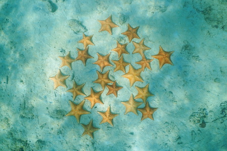 cushion sea star: Group of starfish underwater on sandy seabed, viewed from above, Caribbean sea, Bocas del Toro, Panama Stock Photo