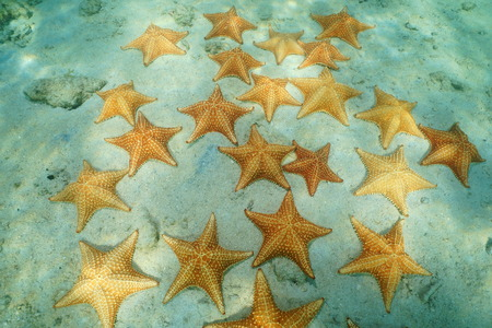 Starfishes underwater, Cushion sea stars Oreaster reticulatus, on sandy seafloor in the Caribbean sea