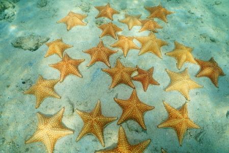 cushion sea star: Starfishes underwater, Cushion sea stars Oreaster reticulatus, on sandy seafloor in the Caribbean sea