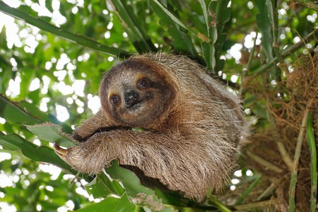 brown throated: Three-toed sloth looking at camera in the jungle, wild animal, Costa Rica, Central America