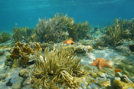cushion sea star: Underwater landscape in a coral reef with gorgonian and starfish, Caribbean sea, Panama, Central America