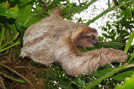 oso perezoso: Brown-throated pereza de tres dedos en la selva, animal salvaje, Costa Rica, Am�rica Central