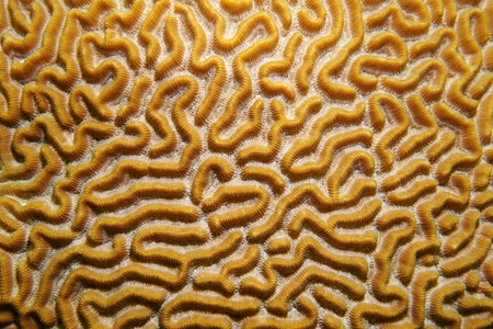 labyrinthine: Underwater life close up image of symmetrical brain coral Diploria strigosa Caribbean sea Stock Photo