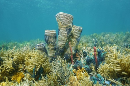 branching coral: Coral reef underwater in the Caribbean sea with branching vase sponge colonized by brittle stars