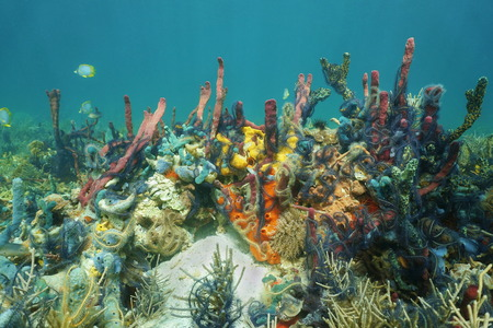 thriving: Reef underwater with thriving marine life composed by colorful sponges covered by Suenson Brittle stars Caribbean sea