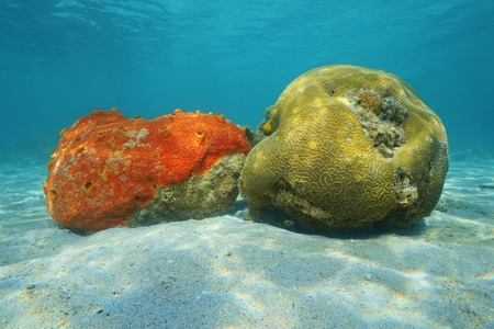 Underwater life red boring sponge and grooved brain coral on sandy seabed of the Caribbean sea