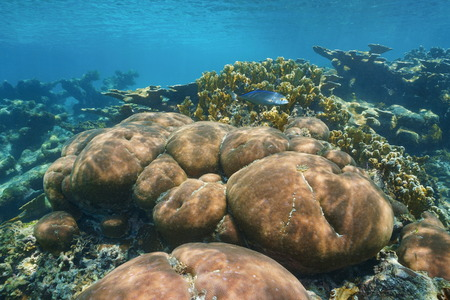 stony coral: Underwater scenery in a stony coral reef of the Caribbean sea