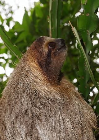 brown throated: Threetoed sloth head profile in the jungle of Costa Rica wild animal Central America Stock Photo