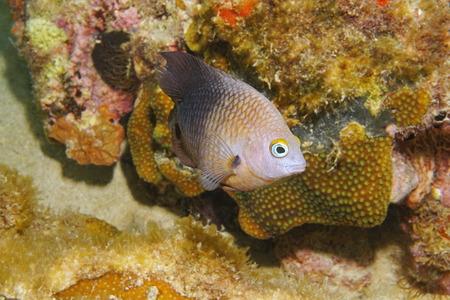 reef fish: Caribbean reef fish underwater Threespot damselfish Stegastes planifrons