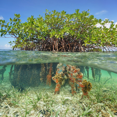 conservation: Split image half above and underwater of a red mangrove tree with foliage and branches over water and roots with marine life below the surface Caribbean sea
