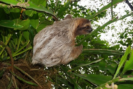 brown throated: Threetoed sloth animal climbing plant in the jungle of Costa Rica Central America