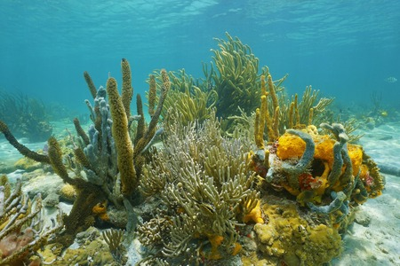 coral colony: Underwater marine life octocorals and colorful sponges on the seabed of the Caribbean sea Stock Photo