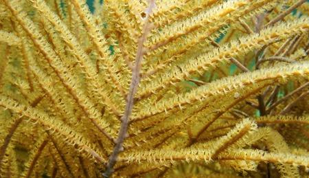 gorgonian: Underwater marine life close up image of sea plume gorgonian octocoral Pseudopterogorgia spp. Caribbean sea Stock Photo