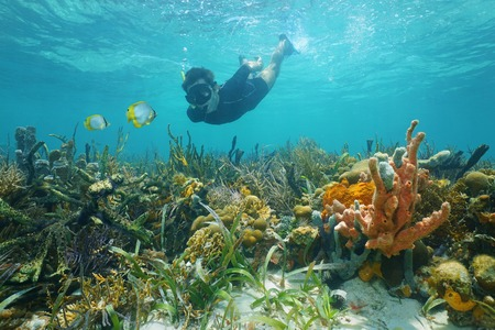 Man snorkeling underwater looks reef fish over a lush seabed with colorful marine life composed by corals and sponges in the Caribbean sea photo
