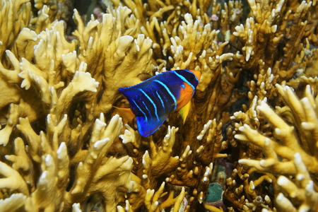 Caribbean reef fish underwater juvenile Queen angelfish Holacanthus ciliaris photo