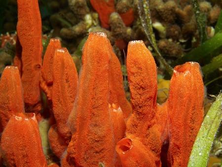 under fire: Underwater esponja fuego la vida marina ignis Tedania mar Caribe Panam�