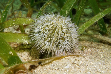 green sea: Underwater marine life Lytechinus variegatus commonly called green sea urchin or variegated sea urchin Caribbean sea