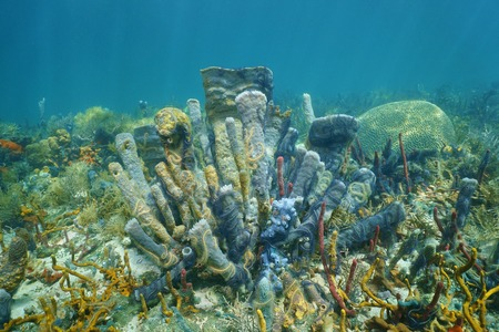 branching: Underwater marine life on a coral reef of the Caribbean sea with mostly branching vase sponge covered by sponge brittle stars