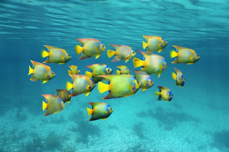 Schooling colorful tropical fish queen angelfish under water surface Caribbean sea